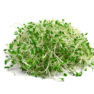 heap of alfalfa sprouts isolated on white